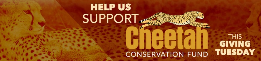 "Brown and yellow graphic banner with cheetahs and white text ""Help us support the Cheetah Conservation Fund this Giving Tuesday"""